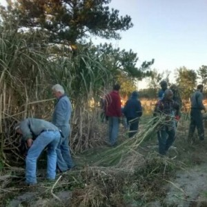 Cutting Sugar Cane - November 2016